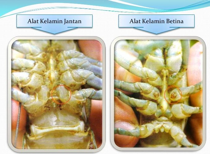 jenis kelamin lobster air tawar