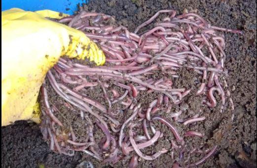 usaha budidaya ternak cacing tanah